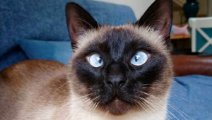 Get To Know Ollie The Cross-Eyed Siamese Cat