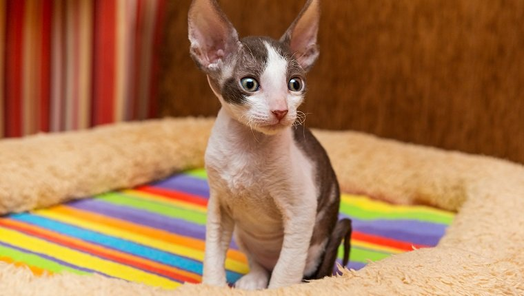 Little kitten Cornish Rex sit on the back of the sofa