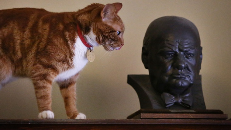 WESTERHAM, UNITED KINGDOM - JANUARY 23: Jock VI, the current cat in residence, looks at a bust of Winston Churchill in the Secretaries Room at Chartwell on January 23, 2015 in Westerham, England. Churchill's first cat, Jock, was given to him on his 88th birthday and when Chartwell was given to the nation it was requested that there should always be a similar cat in residence. The 'Death of a Hero' exhibition is opening at Chartwell, home of Britain's wartime leader Winston Churchill, to commemorate the 50th anniversary of his death and state funeral in 1965.
