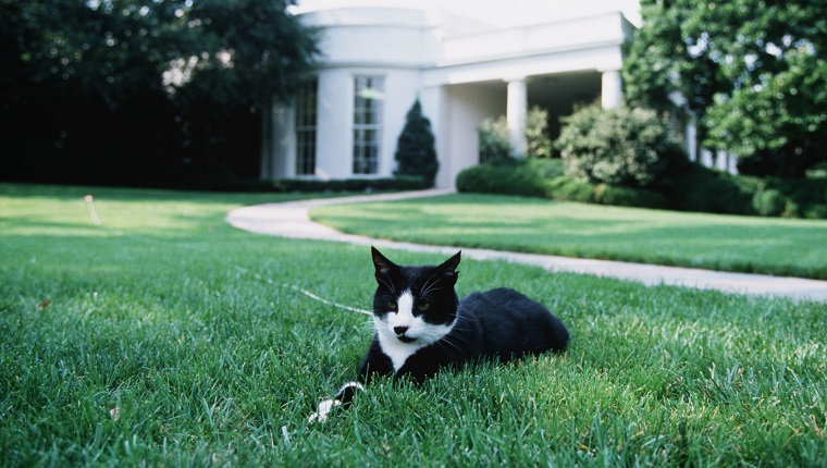 (Original Caption) Socks, the first cat of the Clinton family, August 24, 1994.
