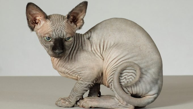 hairless cat looking perturbed