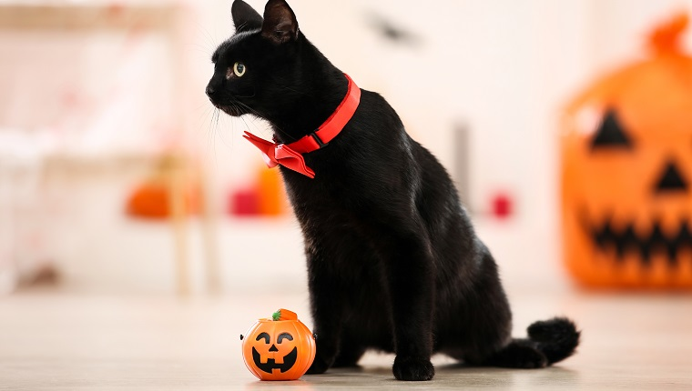 Black cat with red bow tie and plastic pumpkin