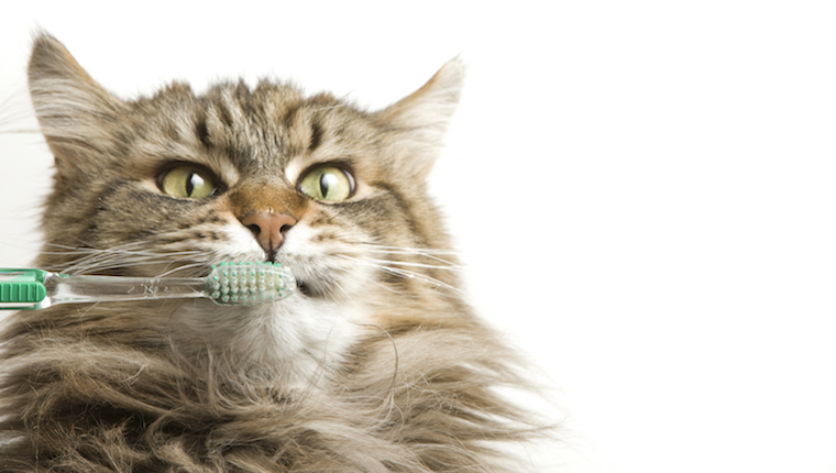 Cat brushing teeth