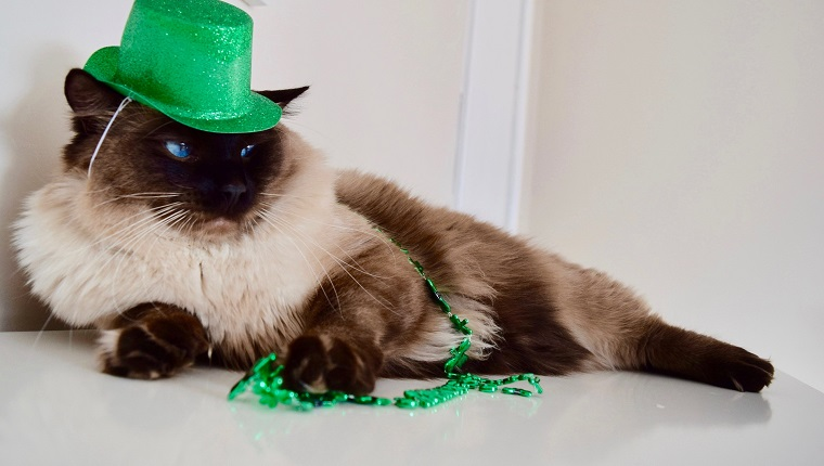Green props with blue eyed seal mitted cat