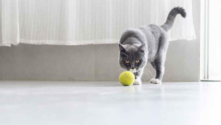 Cat and tennis ball