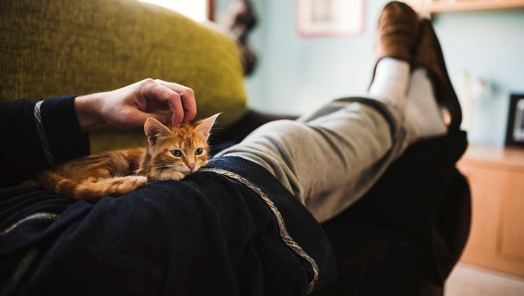 Tabby kitten relaxing on the lap of owner