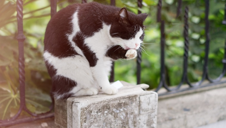 Black and White cat licking himself on the street