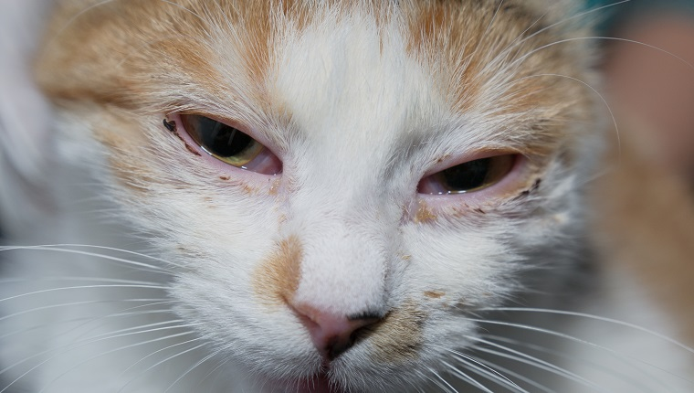 adult cat with herpesvirus infection and purulent conjunctivitis