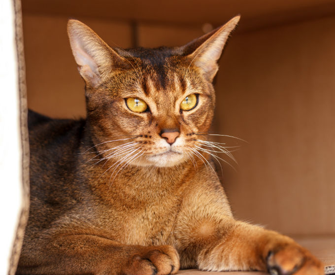 Abyssinian cat qualities