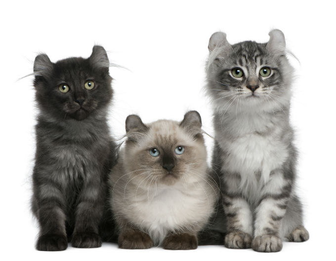 American Curl Cat Price