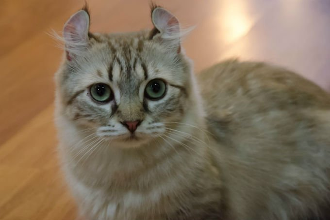 American Curl Cat Breed Information Pictures