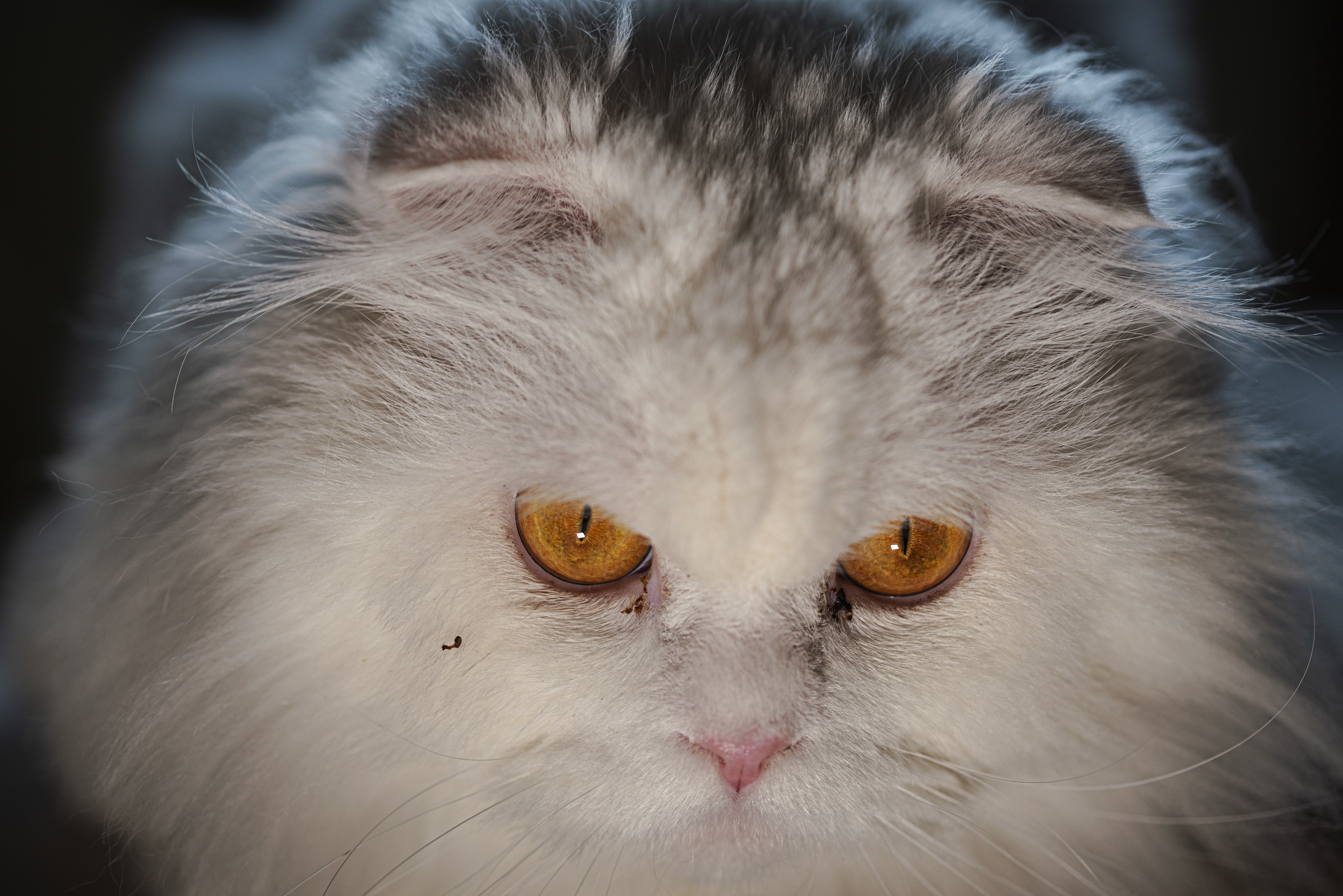 British Longhair Mixed Cat Breed Pictures