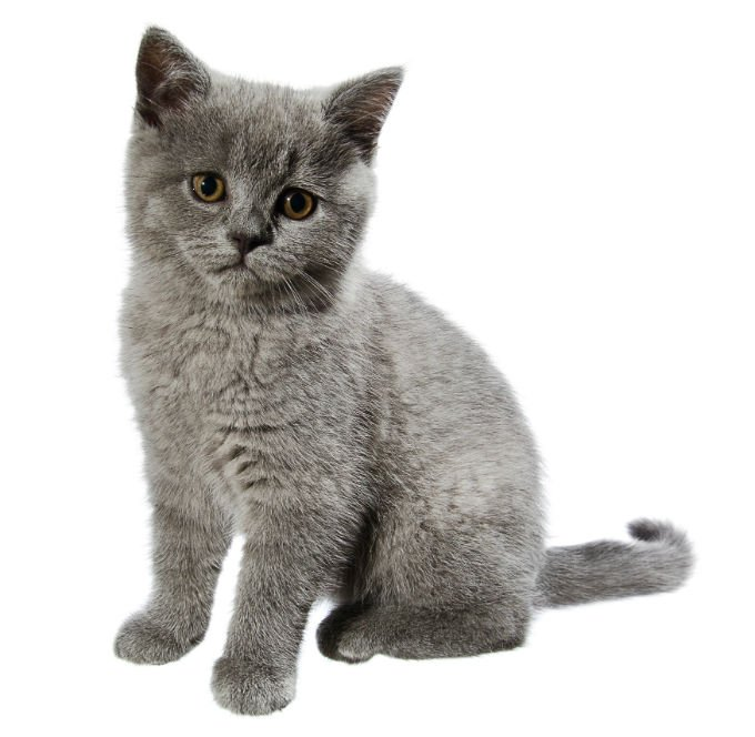 British Shorthair Cat ...