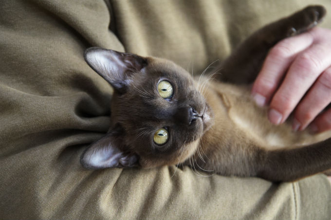 How Long Do Burmese Cross Cats Live