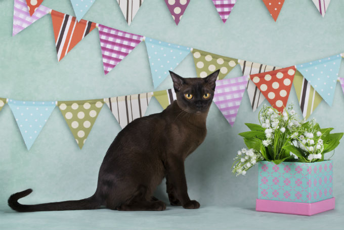 Burmese cats for sale pa