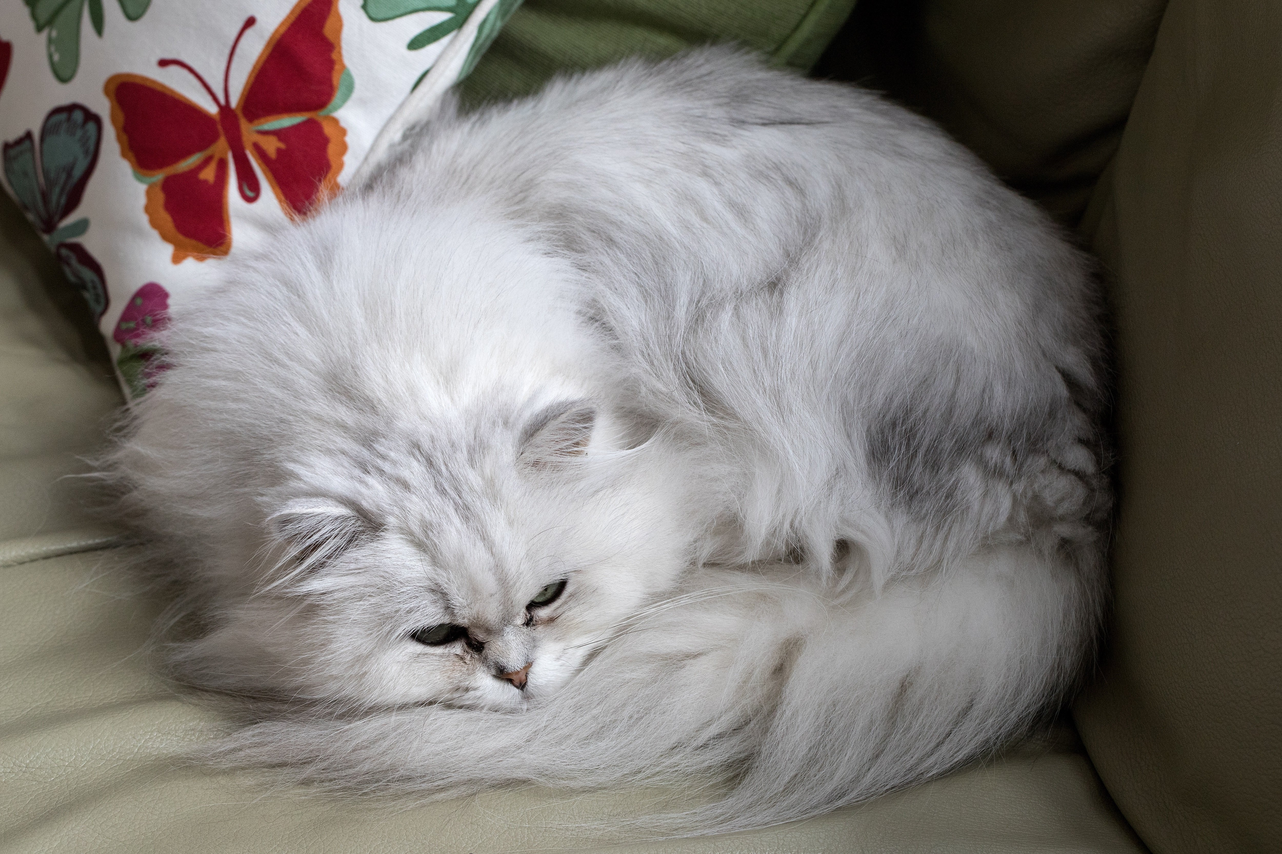 Chantilly-Tiffany Cat Breed Pictures