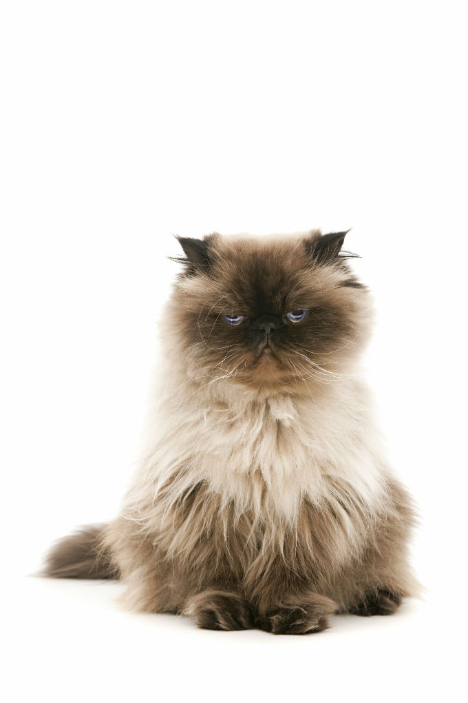 Himalayan Cats And Kittens