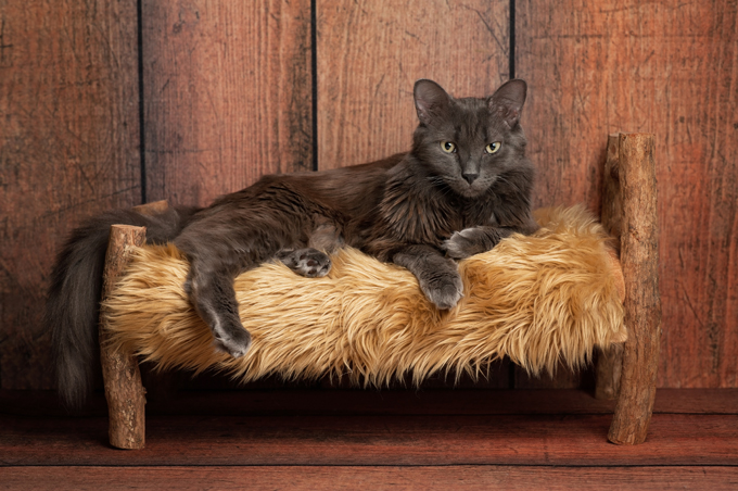 Nebelung Cat Breed Information, Pictures, Characteristics & Facts