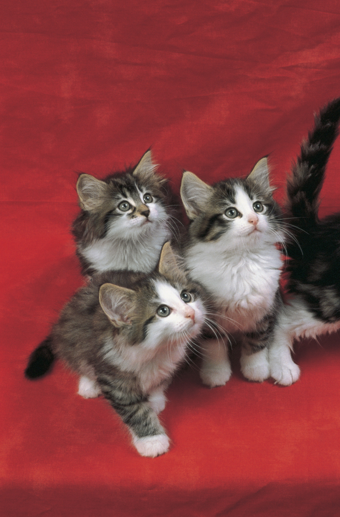 Norwegian Forest Cats And Kittens