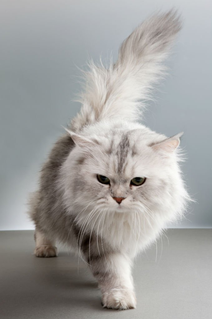 Persian cat medium hair
