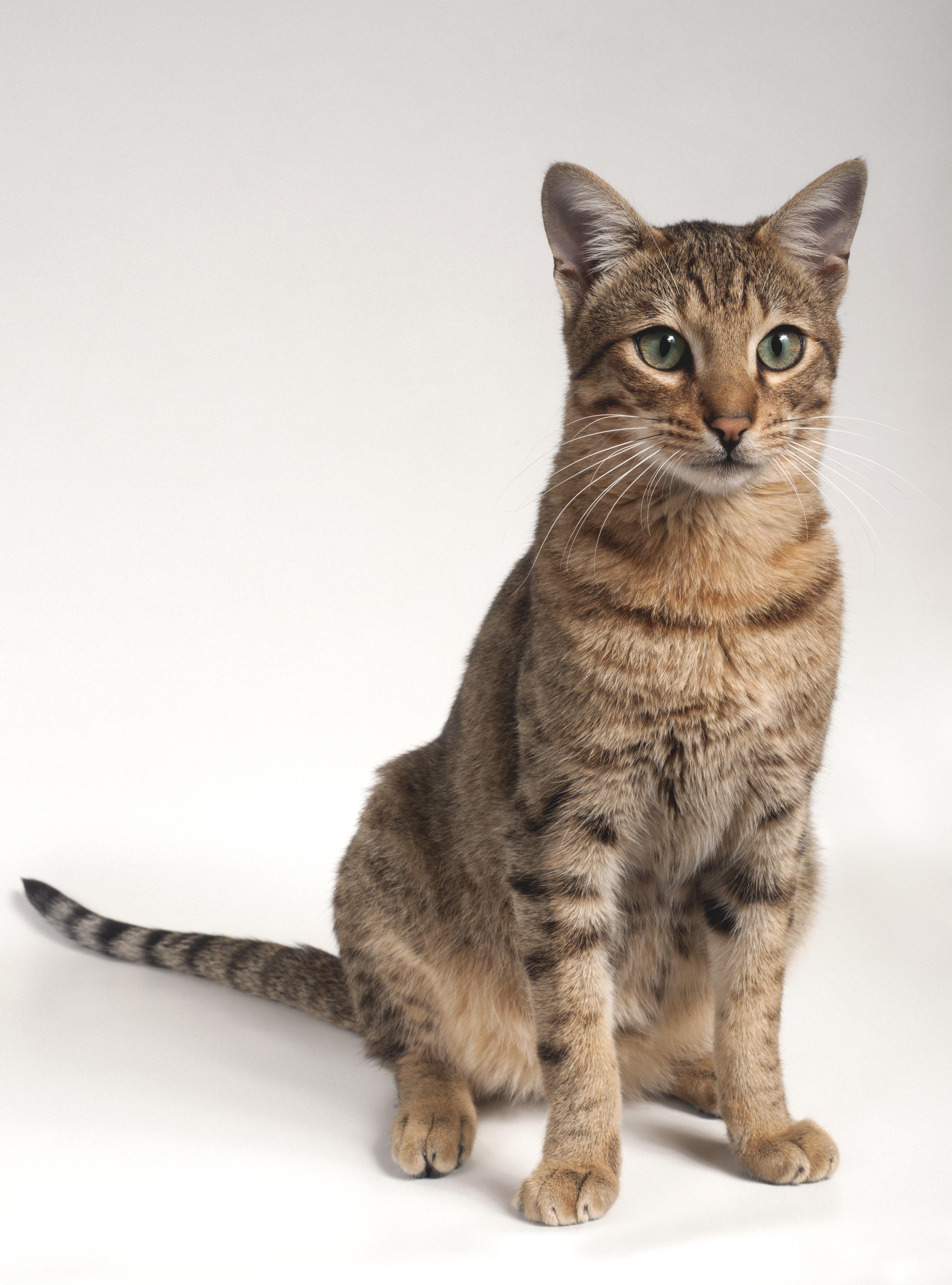 Savannah Cat Breed Pictures