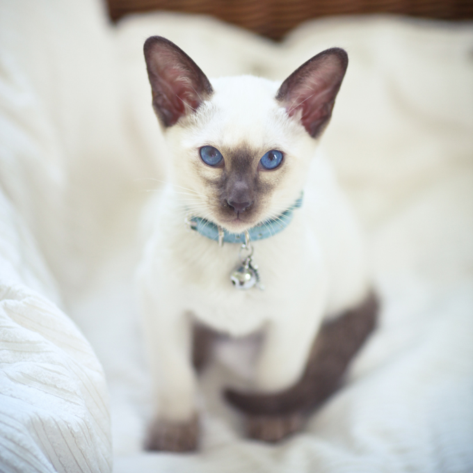Cross Breed Of Siamese And Persian Cat