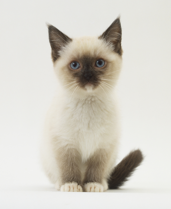 Popular Female Siamese Cat Names