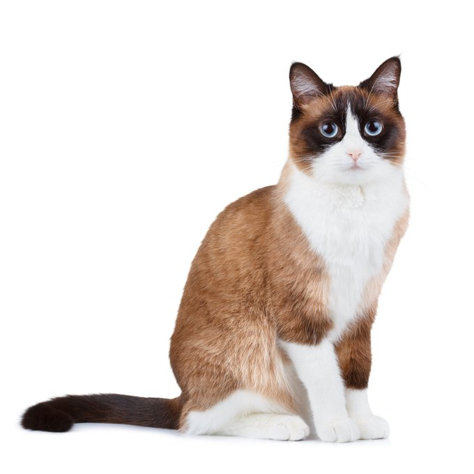 Snowshoe Cat Breed Information, Pictures, Characteristics