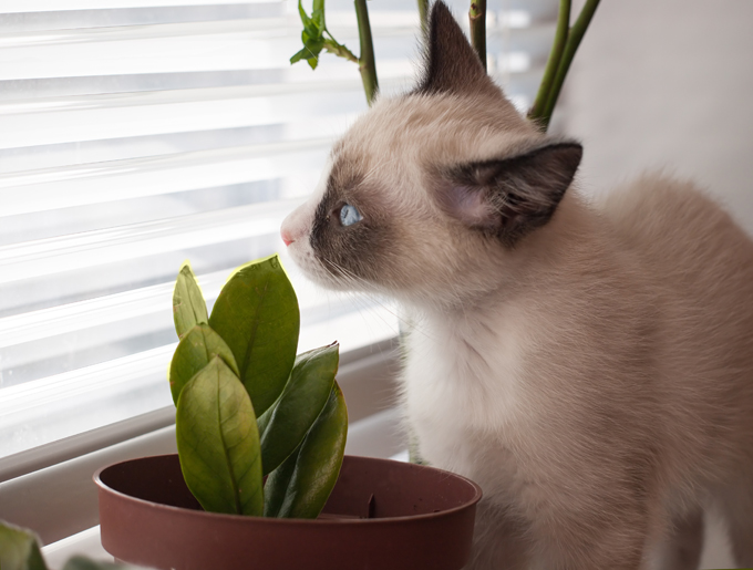 Snowshoe Cats And Kittens