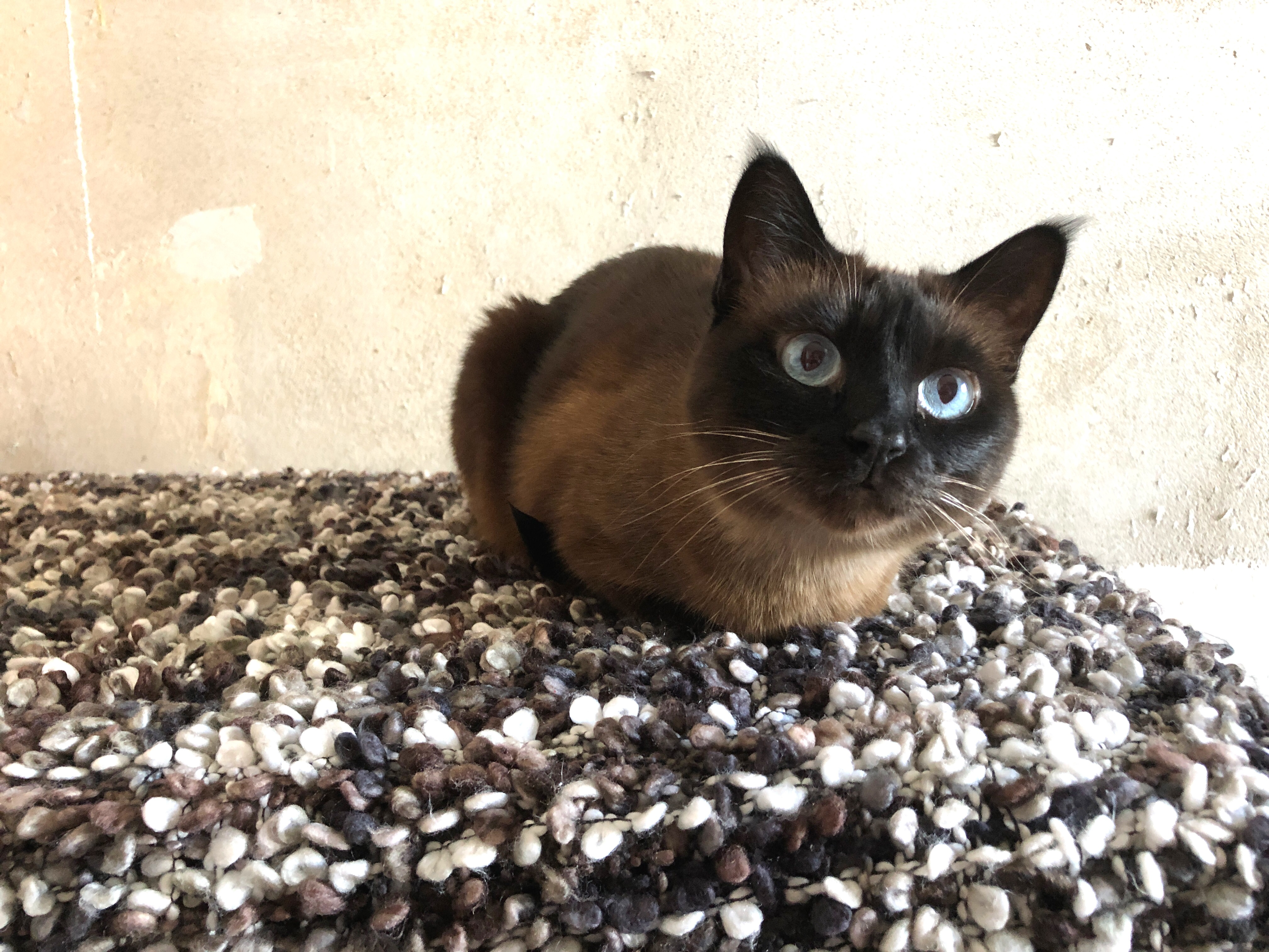 Thai Cat Breed Pictures