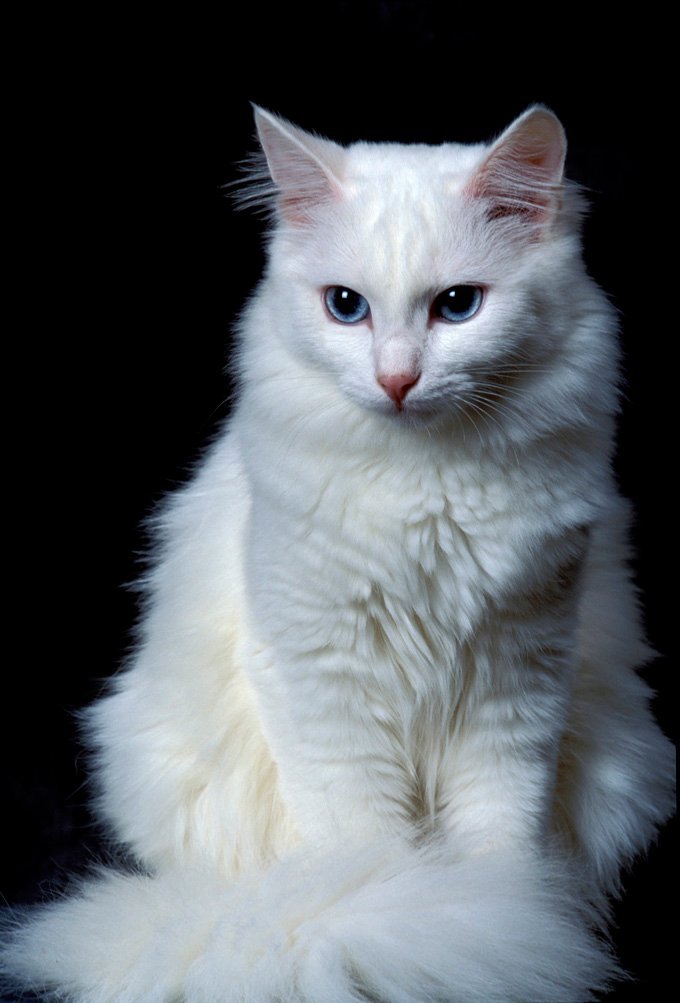 6adae56146 Turkish Angora Cat Breed Information