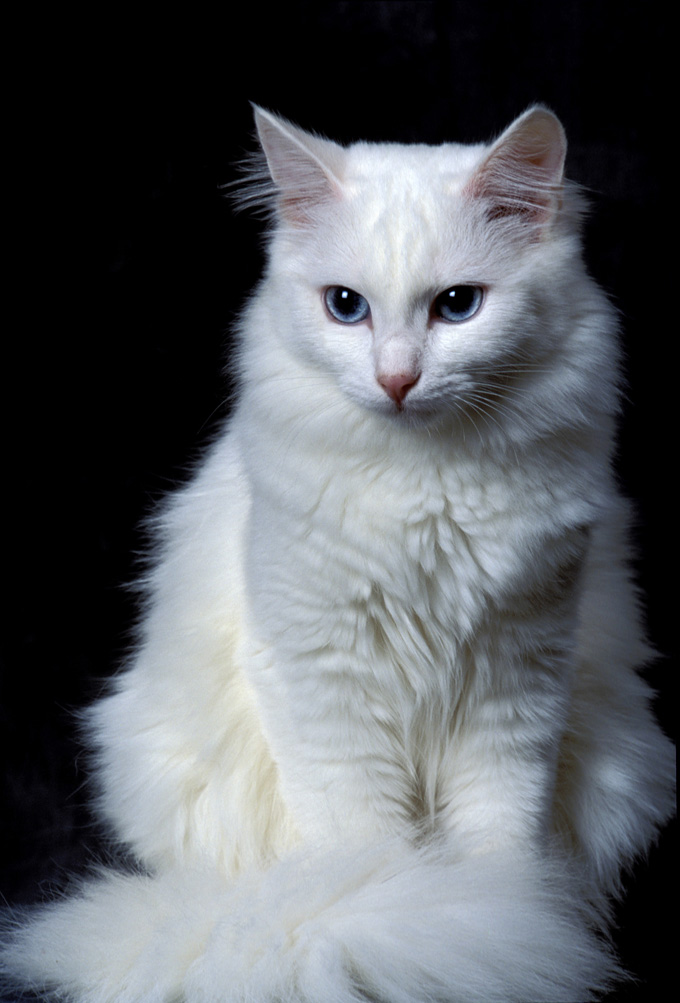 420a4725e2 Turkish Angora Cat Breed Information