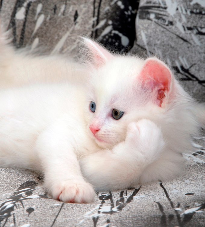 Turkish Angora Cat Breed Information Pictures Characteristics Facts