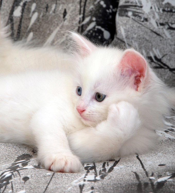 Turkish Angora Cats And Kittens