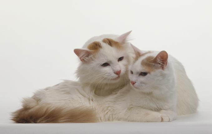 7ef5cbd5d3 Turkish Van Cat Breed Information